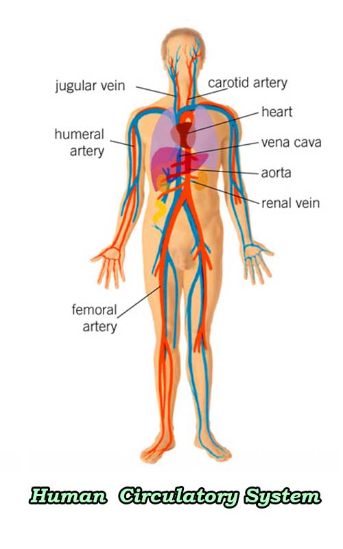 The circulatory system of the Human lungs