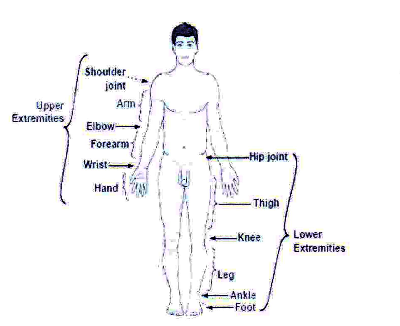 Extremities and Divisions in human body
