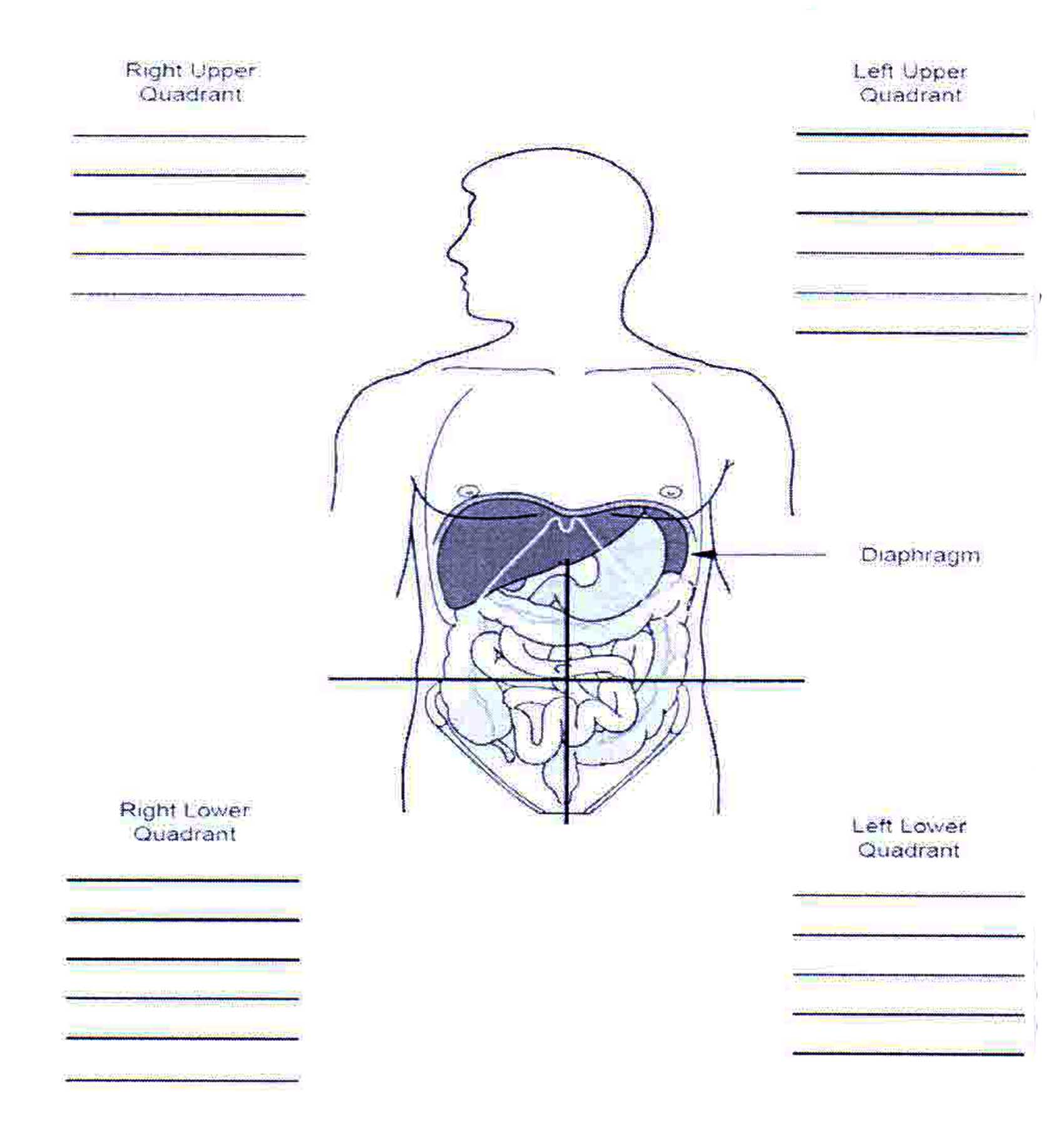 abdominal quadrants and organs of Human Body Sketch